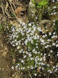 Bluetts houstonia caerulea pond edging plant Small Backyard Ponds, Ponds For Small Gardens, Edging Plants, Garden Pond, How To Dry Basil, Garden Ideas, Herbs, Herb, Spice
