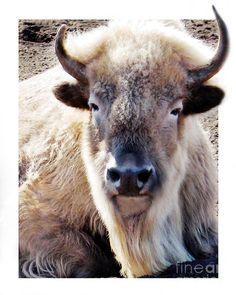 white buffalo | Sacred White Buffalo Photograph - Sacred White Buffalo Fine Art Print