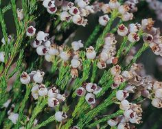 Erica verticillata (Cape Flats Erica) was common in damp Sand Fynbos in areas like Zeekoevlei, Wynberg, Kenilworth and along the Black River. Extinct in the wild in the 1940's, but has been reintroduced.