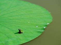 Lilypad with frog