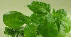 """The name of this powerful natural antibiotic is basil – the King of Herbs. Basil is one of the ancient and popular herbal plants brimming with notable health-benefiting phytonutrients. This super healthy plant is revered as """"holy herb"""" in many cultures al Natural Herbs, Natural Health, Natural Juice, Health Benefits, Health Tips, La Constipation, Herbal Plants, Medicinal Herbs, Healthy Herbs"""