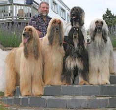 Afghan Hound Colors Pictures