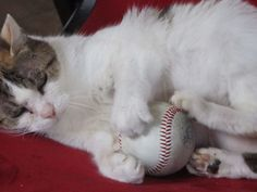 From the makers of the #KittenBowl comes: The 2015 #Kitten Paw-StarGame | #TheStrikeZone #sportsillustrated | #baseball #MLB #AllStar #cats