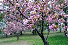 heart, butterflies, green, cherri blossom, come backs, blossom trees, flowers, cherries, cherry blossoms