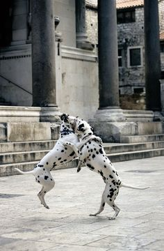 Dalmatian dog, the most famous indigenous Croatian canine breed!