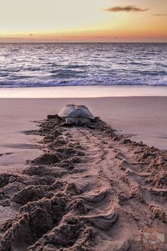 Ras Al Jinz Turtle Reserve Oman - How to see the Oman see turtles (best season, Sur turtle beaches, reserve, Ras al Had. Oman Travel, Asia Travel, Dubai, Sultanate Of Oman, Amazing Gifs, Turtle Beach, Roadtrip, Beach Scenes, Photos Du
