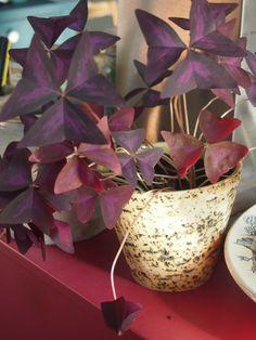 Oxalis triangularis Oxalis Triangularis, Planter Pots