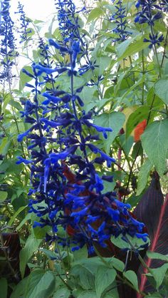 Salvia guaranitica 'Black and Blue' - Towering sub-shrub with handsome dark green, toothed leaves and 30cm long, upward pointing flowering spikes of the most exceptional rich dark blue/black from late summer through autumn. The flowers are loved by bees. Grow in moist but well-drained soil in sun. This is a vigorous, towering plant and may need some support. Mulch well around the roots in late autumn.  Eventual mature plant size : Height 2.5m Spread 90cm
