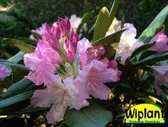 Rhododendron smirnowii-gruppen 'Pohjola's Daughter', rhododendron. Höjd: 0,8-1 m. Zon III.