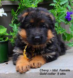 Mittelwest is a German Shephed breeder of pure bred German Shepherd puppies.#juliemartinezmittelwestreviews