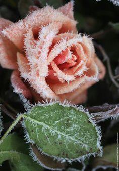 Ice rose flowers