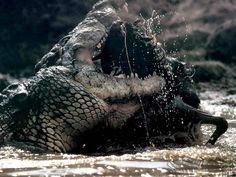 nile crocodile attacks | African+Nile+Crocodiles+dangerous+animal+attacks+news+Croc-attacks ...