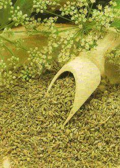 sementes-anis-erva-doce-topseed-c-030g-20201-MLB20186739956_102014-F