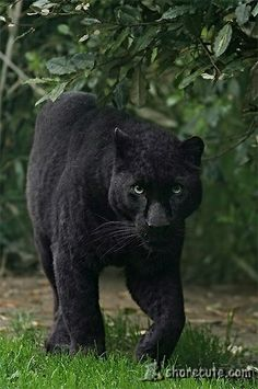 amazing panther on the prowl share cute things at www.sharecute.com