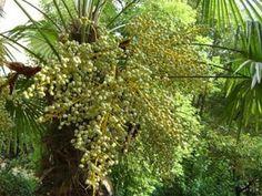 健康一級棒: 棕櫚的神奇功效 高血壓的人可以來看看 棕櫚花有不錯的功效!!