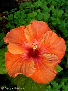 Hibiscus 'Etouffee'