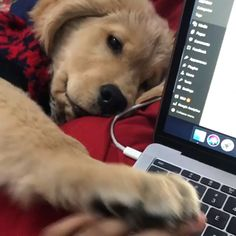 Golden Retriever Discover Any dogs and puppies that are cute. See more ideas about Cute Dogs Cute puppies Tags: Cute Funny Animals, Cute Baby Animals, Funny Dogs, Animals And Pets, Funny Memes, Cute Animal Videos, Funny Animal Pictures, Cute Puppy Videos, Cute Puppies