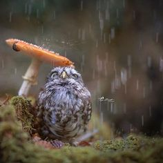 Hide from The rain ... #autumn #cute #germany #deutschland #owl #owls #littleowl #little #tiere #tierfotografie #tiny #tanjabrandt #ingoundelse #ingoandpoldi #ingoundpoldi #birds #pet #animalphotography #rain #mushroom#owllove #owlsofinstagram #birds #bird #birdlovers #birdsofinstagram