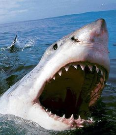 Great White Shark - scares the crap out of me, but you have to respect the role they play in our eco-system! Shark Pictures, Shark Photos, Megalodon, Underwater Creatures, Ocean Creatures, Orcas, Save The Sharks, Shark Bait, Great White Shark