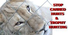 PLEASE Stop, No More Canned Hunting!! @cannedlion #Lion pic.twitter.com/klwlHwKTrK