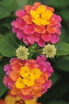 """LANTANA - Annual  Lucky, Sunrise Rose  Height:12-16""""  Spacing:10x10""""  Flowers:Yellow center to light pink to rose  Blooms:Spring until frost  Soil:Use Bordine Nursery Potting Soil when planting in containers.  Additional Information:  Heat and drought tolerant and will even bloom when everything else is done. Great low maintenance containers for busy lifestyles. Requires full sun. Fragrant. Attracts butterflies and hummingbirds."""