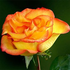 Flamenco Hybrid Tea Rose $20.27