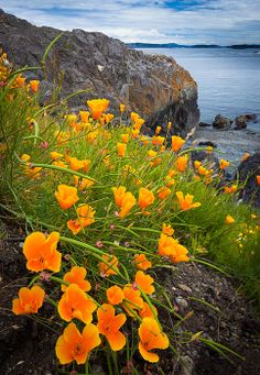 Blooming yellow poppies at Cattle Point on San Juan Island in Washington