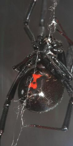 Black Widow spider. Considered the most venomous spider in North America. #Nature #Spiders