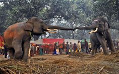 World Elephant Day - Two elephants reach out to each other at the Sonepur Cattle Fair in the Saran district in the eastern Indian state of Bihar on November 28, 2012. - The Atlantic
