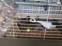 Dit zijn twee konijnen ze heten dropie en moppie.  moppie heeft nu ook nog 5 kleine konijntjes gebaard.