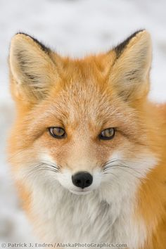 Alaskan Red Fox - incredibly beautiful when set against the snow!