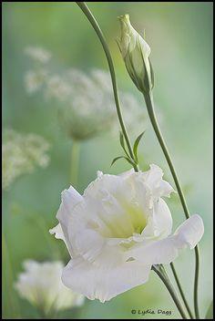 white lithianthus