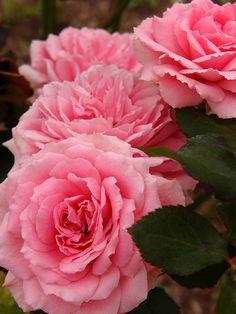 Floribunda Rose 'Carol Amling' (aka 'Carol', 'Garnette Carol')  (Rosa micrantha)