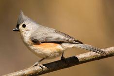 Tufted Titmouse - Whatbird.com