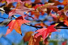 #REDS OF #AUTUMN #Nature -   Prints & Greeting Cards available at:  http://kaye-menner.artistwebsites.com/featured/reds-of-autumn-kaye-menner.html  -
