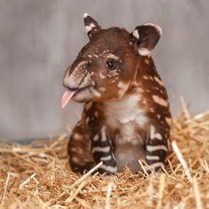 Tapir Baby!