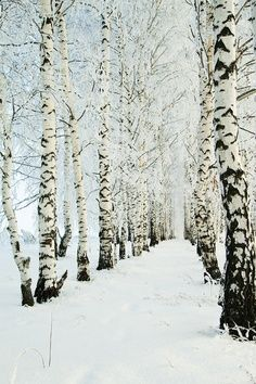 Winter Birch Path