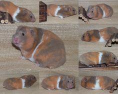 Dove Tricolour (Tortoiseshell banded), Shorthair  http://www.melitahamstery.com/hamsters/torts-and-tortoiseshell