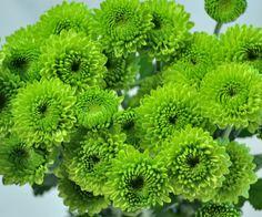Button Poms green