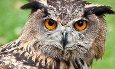 Who?  http://static.guim.co.uk/sys-images/Observer/Columnist/Columnists/2010/12/24/1293189659940/The-Eurasian-Eagle-Owl-001.jpg