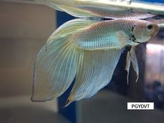 veiltail betta fish