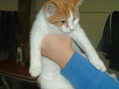 Meet Simon, a Petfinder adoptable Domestic Short Hair - orange and white Cat | Lucknow, ON | WHY IS HE HERE ?? this boy and his brother grew up to be almost 4 months old in local pound for...