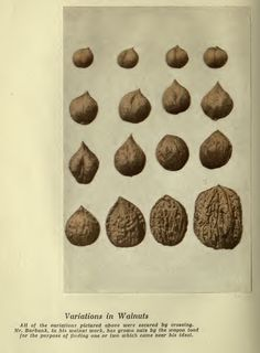 Variations in Walnut Agricultural Science, Luther, Chocolate, Chocolates, Brown