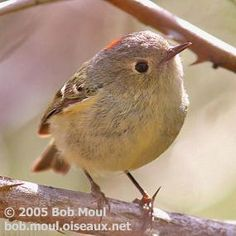 This Ruby-crowned Kinglet looks like a ball, cute!