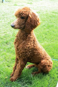 Natural cut standard poodle. Contender for world's best animal.