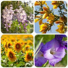 significato-dei-fiori-glicine-ginestra-girasole-gladiolo