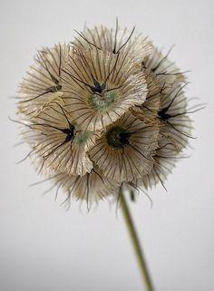 Scabiosa stellata | by floraworks