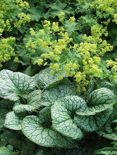 Ladys Mantle and Brunnera combination for part shade location