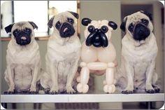 Pug Balloon , such a funny little pic here ofPug Balloon. This animal picture is both funny and funny. Funny Animal Videos, Funny Animal Pictures, Dog Pictures, Funny Animals, Cute Animals, Hilarious Pictures, Animal Pics, Amor Pug, Balloon Dog