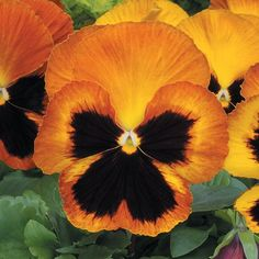 Pansy Matrix Sunset (5 plants)